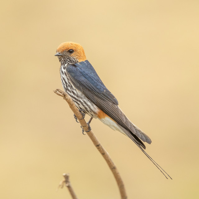 """Lesser Striped Swallow"" stock image"