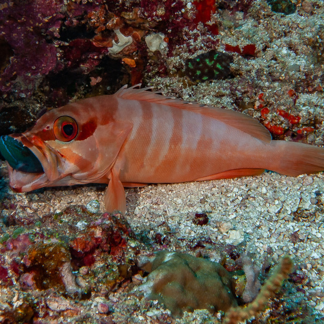 """""""grouper eating red toothed trigger fish"""" stock image"""