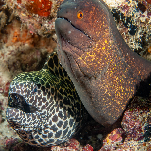 """""""spotted moray eel"""" stock image"""