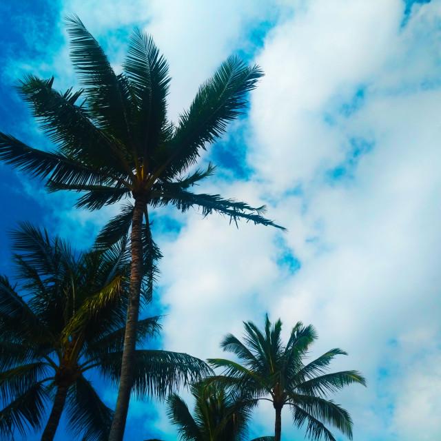 """""""hawaiian coconut tree"""" stock image"""