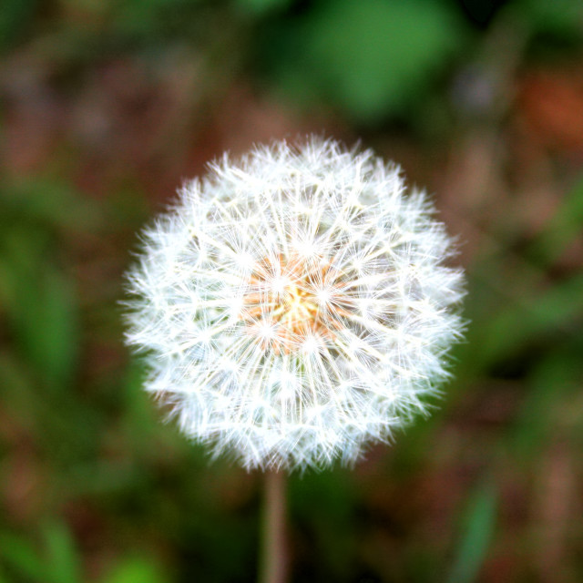 """""""Red Seeded Dandelion"""" stock image"""
