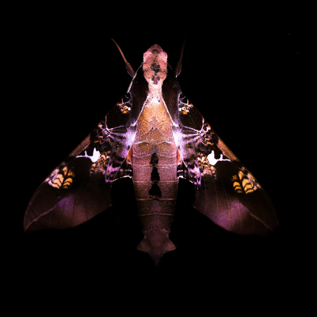 """The sphinx moth (Sphingidae)"" stock image"