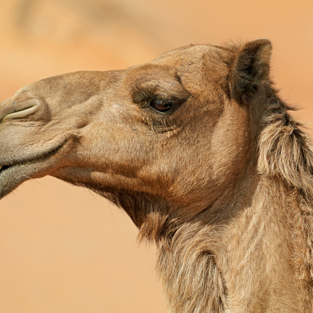 """Close-up portrait of a camel"" stock image"