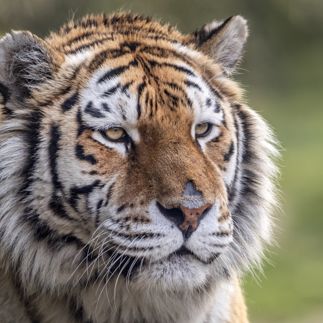 """Female Amur tiger (close-up)"" stock image"