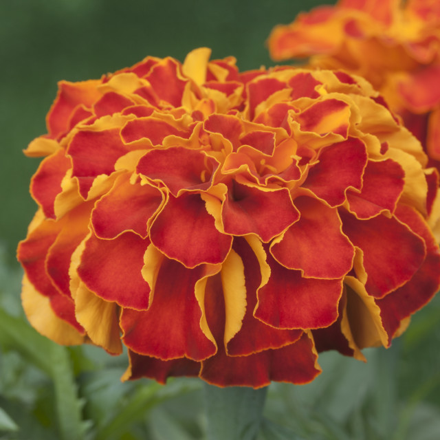 """Afro-French Marigold ""Zenith Red"" Tagetes patula x erecta"" stock image"