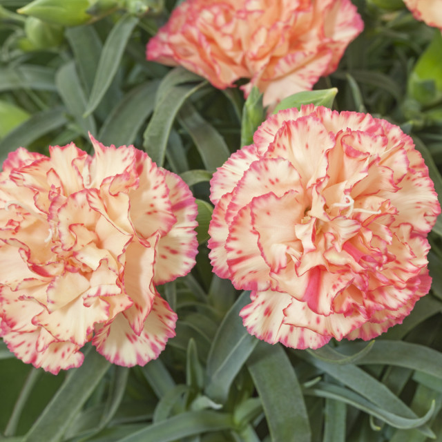 """Dianthus Flow "" Bondi Beach"""" stock image"