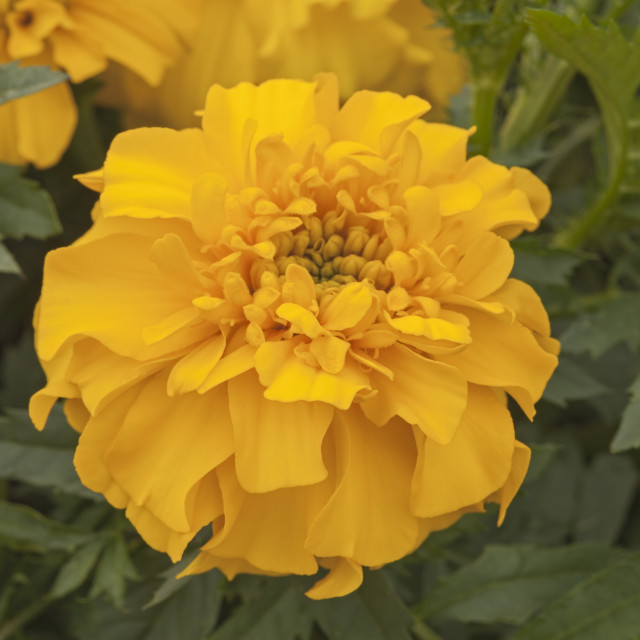 """French Marigold ""Bonanza"" yellow, Tagetes patula"" stock image"