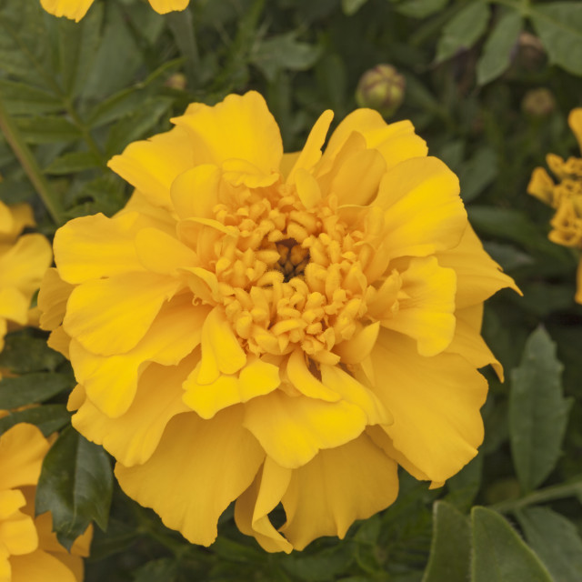 """French Marigold, ""Bonanza"" yellow, Tagetes patula"" stock image"