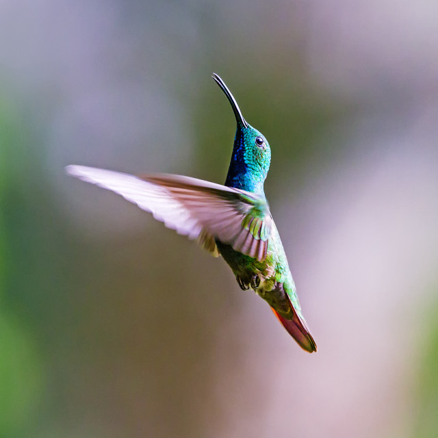 """Green-breasted Mango Hummingbird Hovering"" stock image"