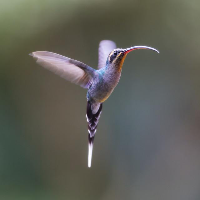 """Green Hermit Hummingbird Hovering"" stock image"