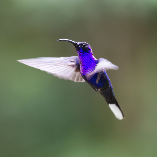 """Violet Sabrewing Hummingbird Hovering"" stock image"