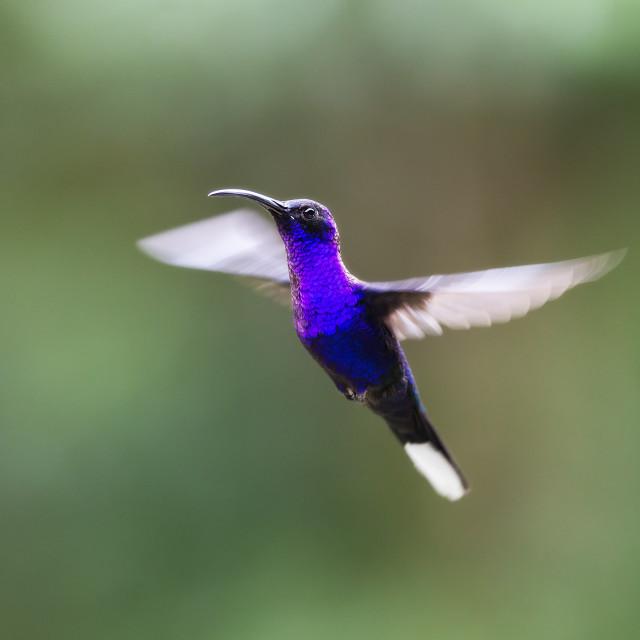 """Violet Sabrewing Hummingbird Hovering"" stock image"