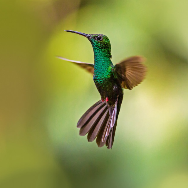 """Bronze-tailed Plumeleteer hummingbird hovering"" stock image"