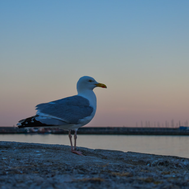"""Great Black Backed Gull"" stock image"