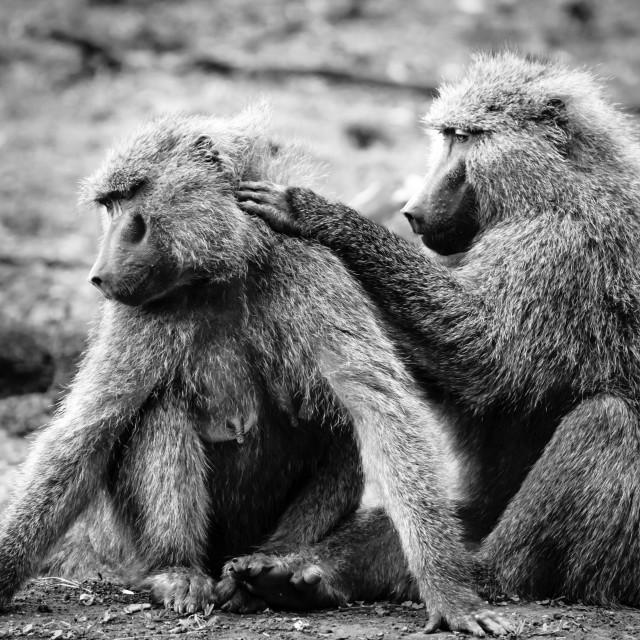 """Baboons Social Grooming"" stock image"
