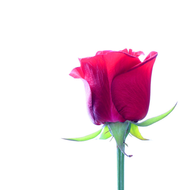 """""""Red rose on a white background for a girl"""" stock image"""