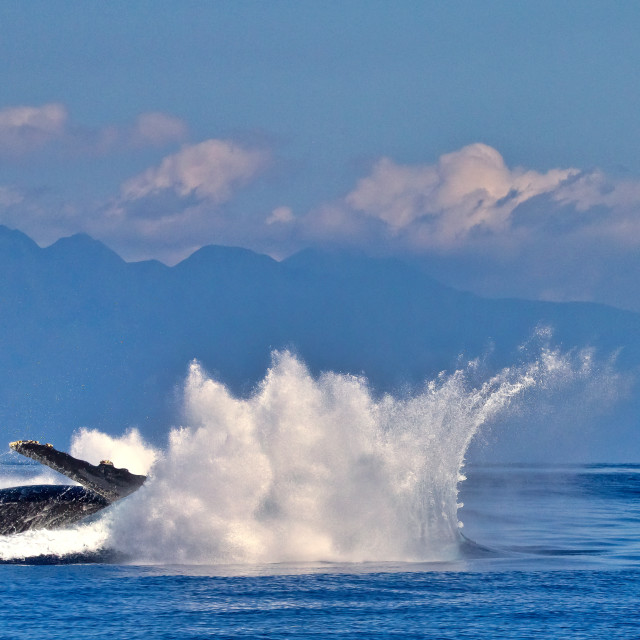 """""""Humback whale males battling"""" stock image"""