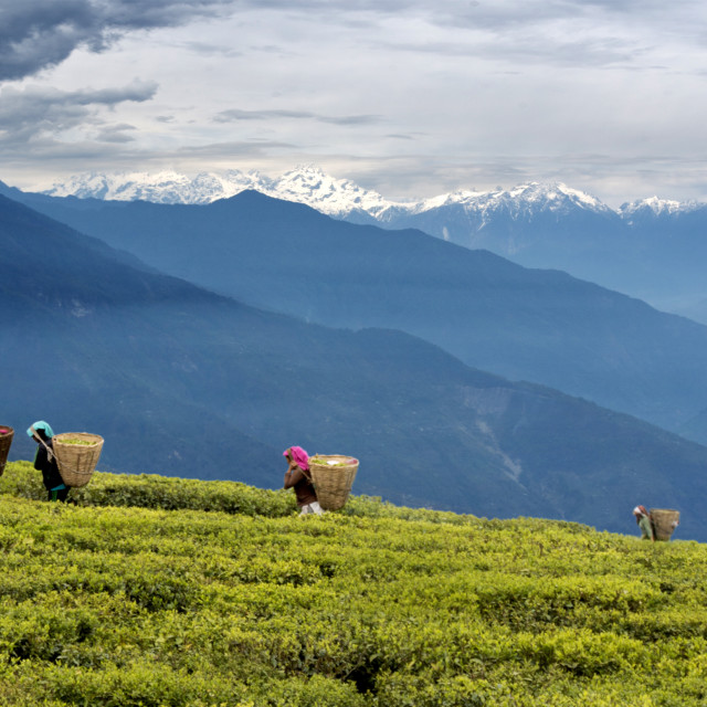 """The Tea Pickers of Namchi"" stock image"