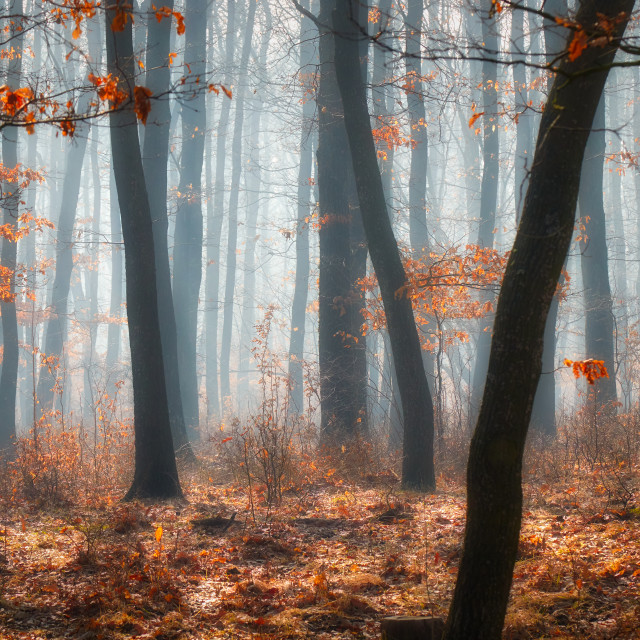 """Foggy day in a oak forest in autumn time in Hungary"" stock image"