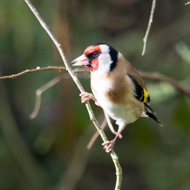 """Goldfinch (Carduelis Carduelis)"" stock image"