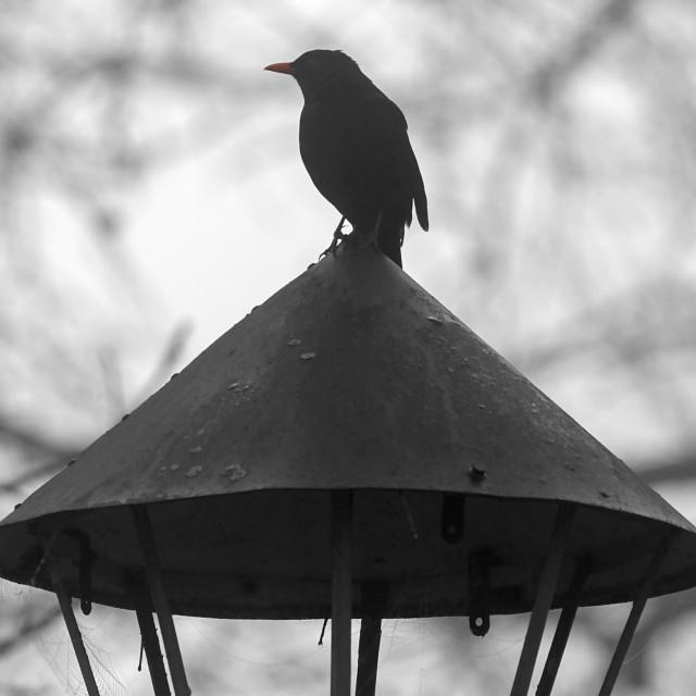"""The Blackbird"" stock image"