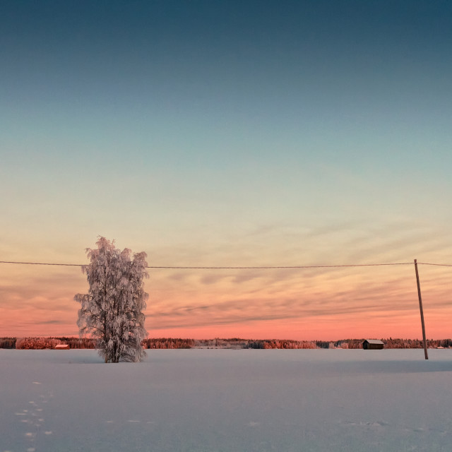 """""""Snow Covered Tree In The Sunset"""" stock image"""