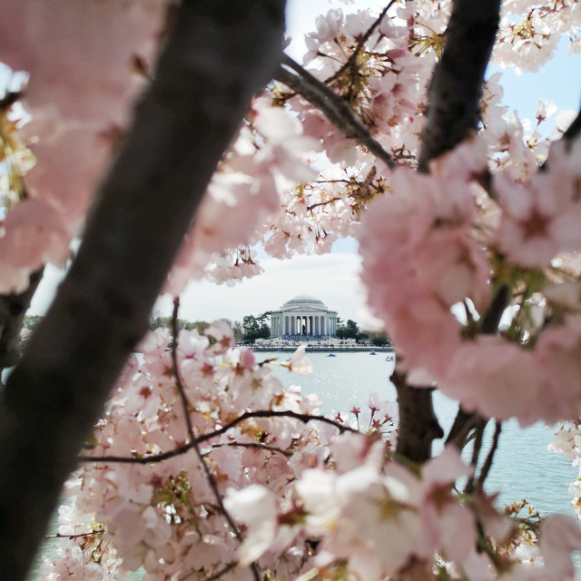 """Jefferson Memorial in Blossom"" stock image"