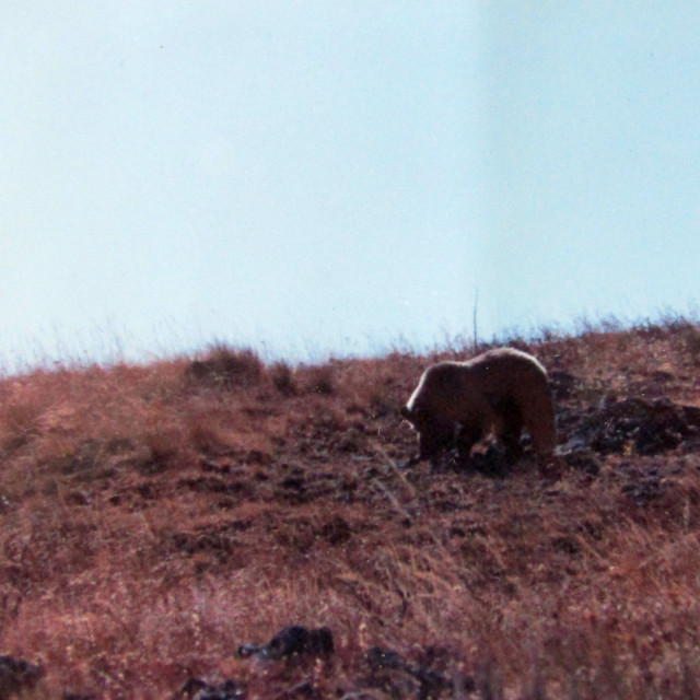 """Grizzly in Yellowstone"" stock image"