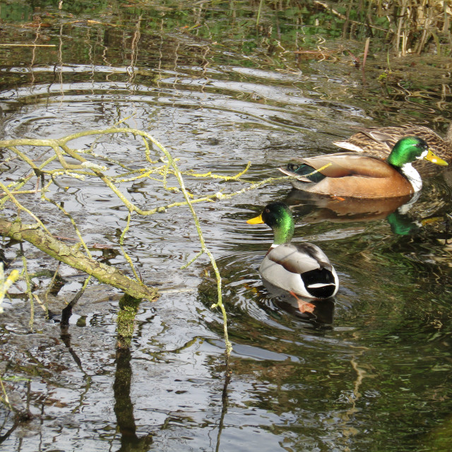 """Ducks in a stream"" stock image"