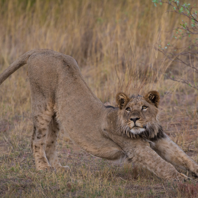 """Young stretching lion"" stock image"