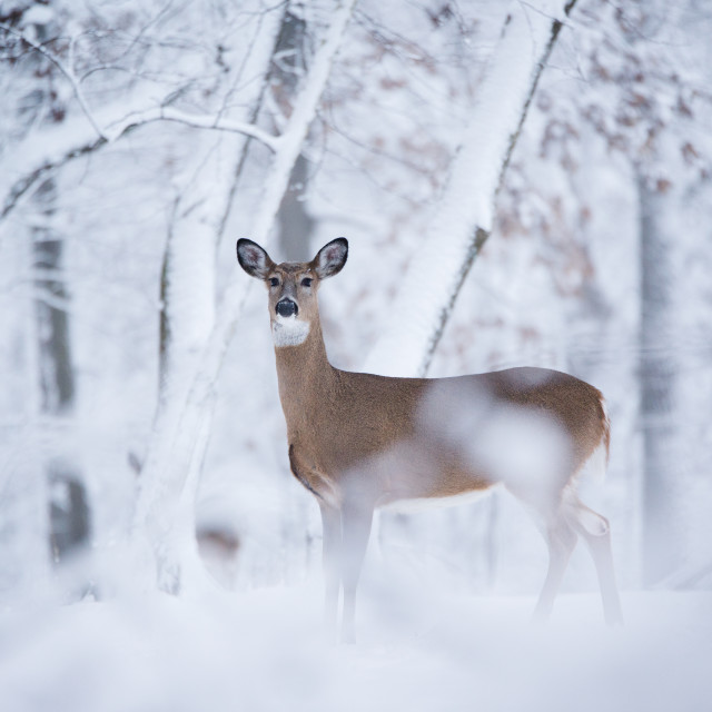 """""""A white tail deer"""" stock image"""