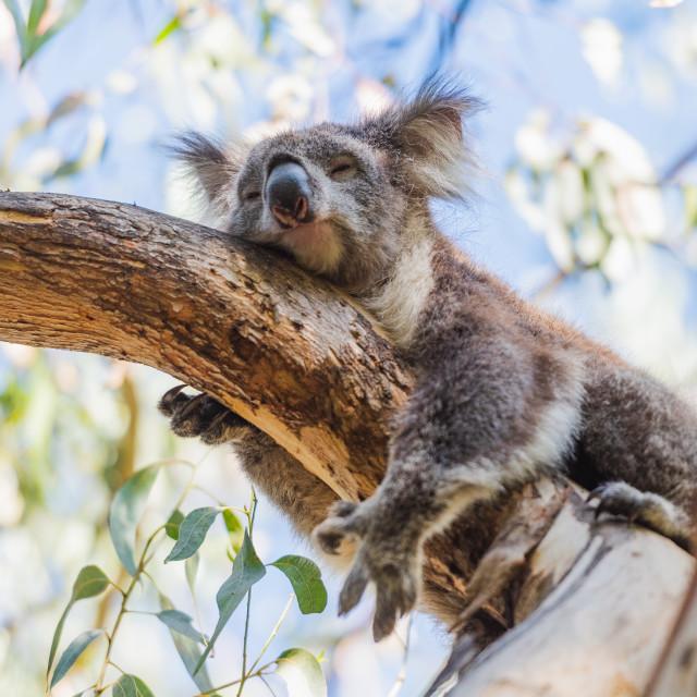 """Koala"" stock image"