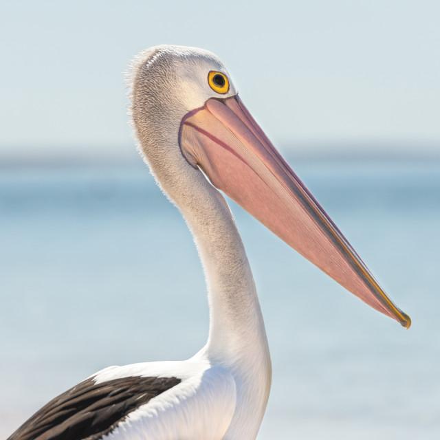 """Portrait of a Pelican"" stock image"