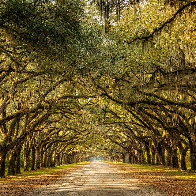 """Wormsloe park, life oak tree alley, Savannah"" stock image"