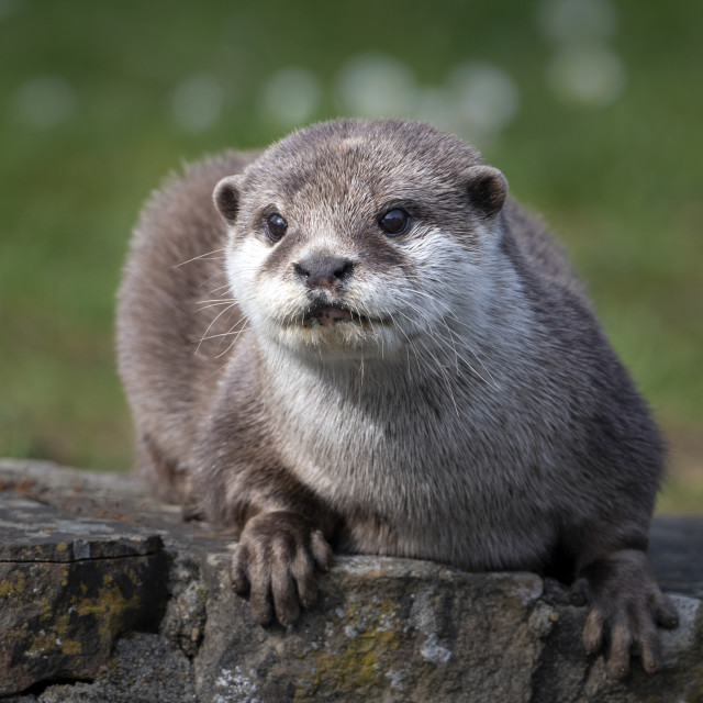 """""""Asian small-clawed otter"""" stock image"""