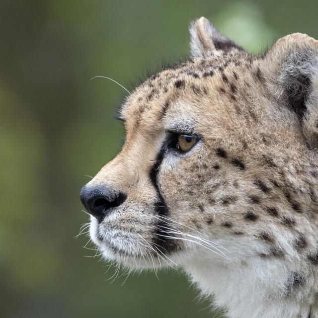 """Male cheetah (profile)"" stock image"