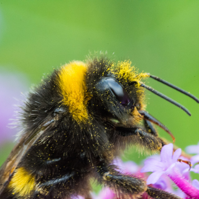 """""""Bee close-up"""" stock image"""