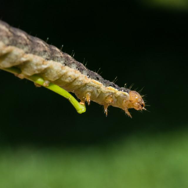 """""""Macro shot of a caterpillar"""" stock image"""