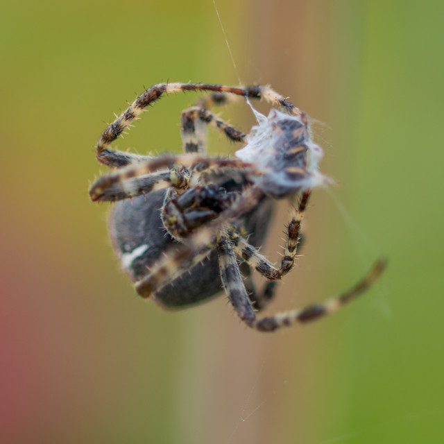 """""""Spider with prey"""" stock image"""