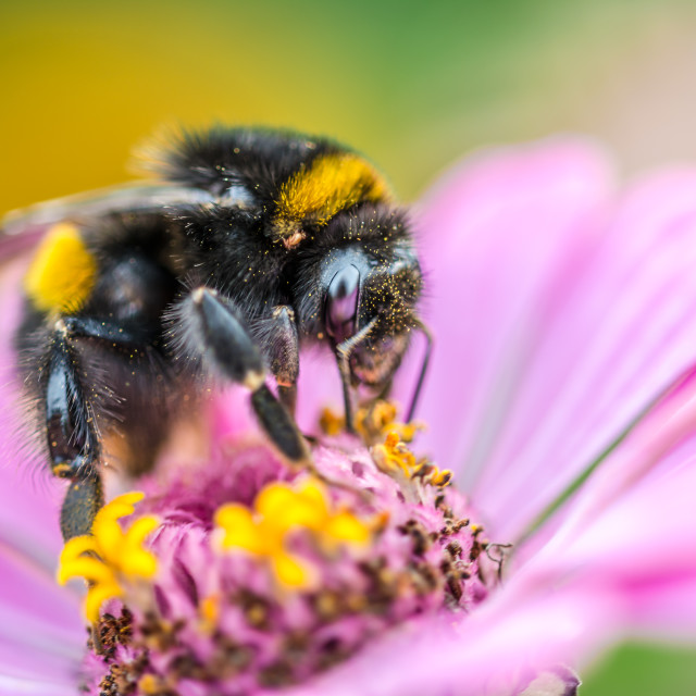 """""""Bee collecting pollen on a flower"""" stock image"""