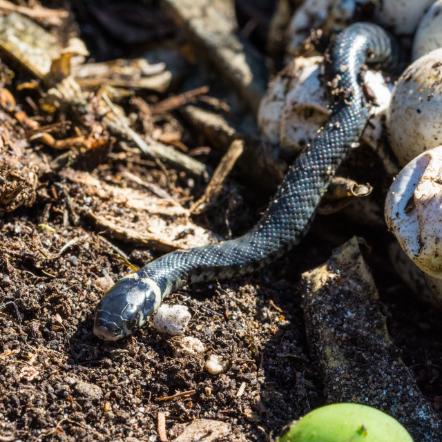 """""""Grass snake emerging from its egg"""" stock image"""