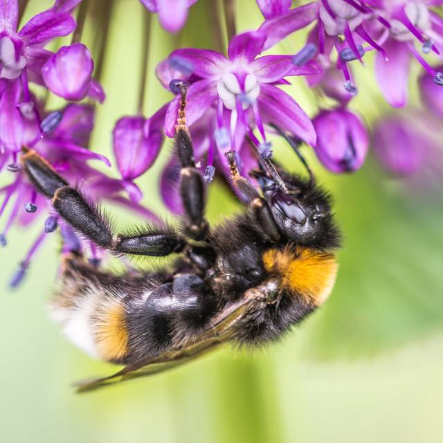 """Bee on Allium"" stock image"