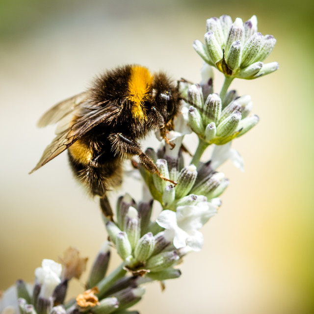 """""""Bee working on lavender"""" stock image"""