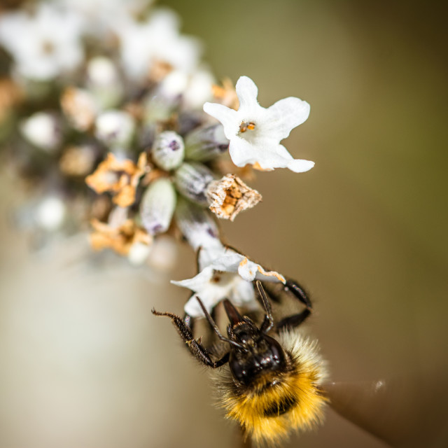 """""""Bee on lavender"""" stock image"""