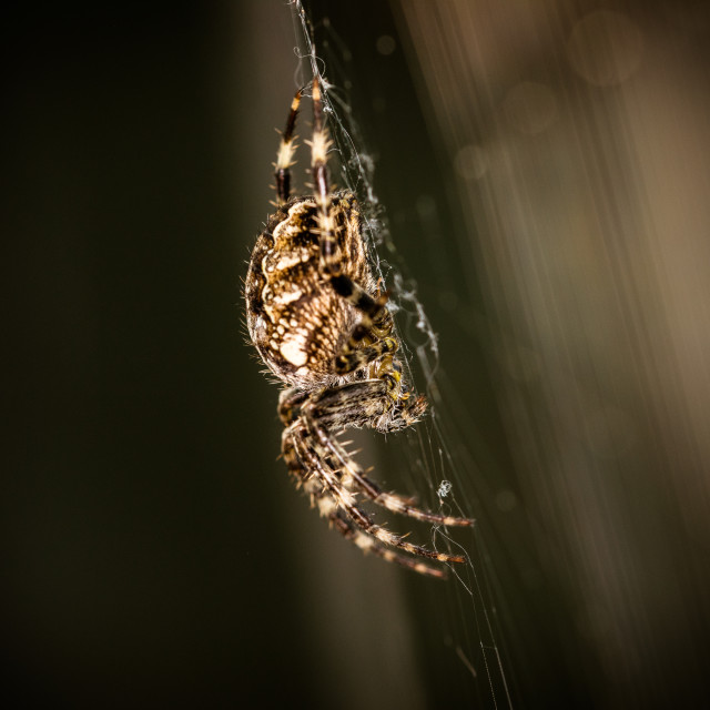 """""""Spider sat on its web"""" stock image"""