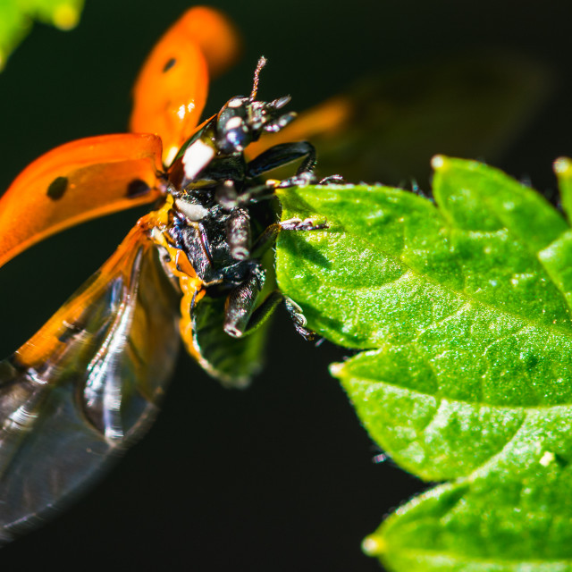 """Ladybird landing on a leaf"" stock image"