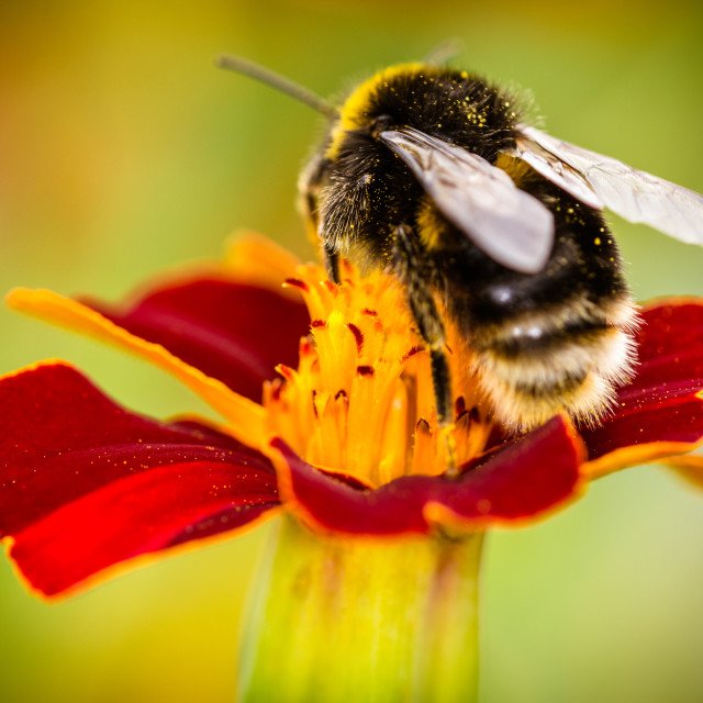 """""""Bee on a marigold"""" stock image"""
