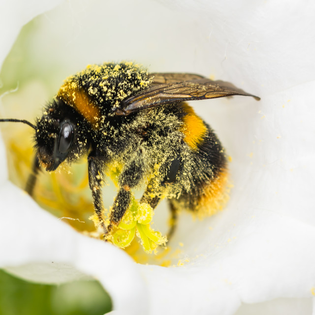"""""""Bee covered in pollen"""" stock image"""