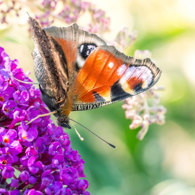 """Butterfly on a butterfly bush"" stock image"