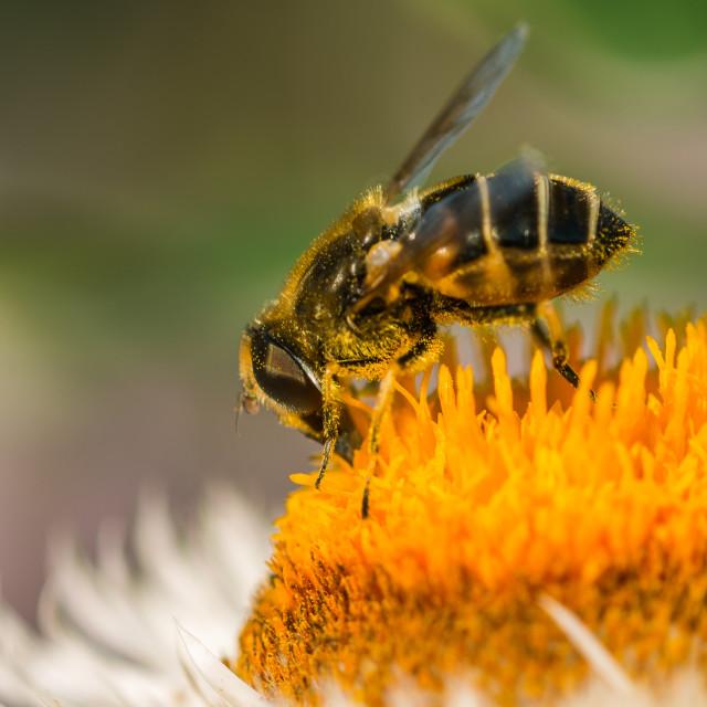 """""""Bee working on helichrysum"""" stock image"""
